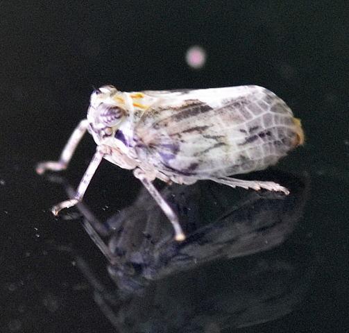 Planthopper - Thionia elliptica