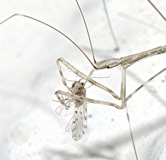 Very small Phasmid? - Pseudometapterus umbrosus