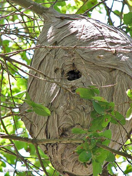 Aerial Yellowjacket at nest - Dolichovespula arenaria