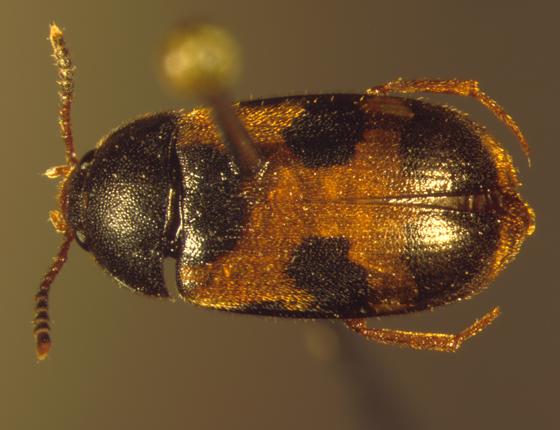 Mycetophagidae, dorsal - Mycetophagus punctatus