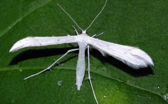 White Plume Moth - Hellinsia homodactylus