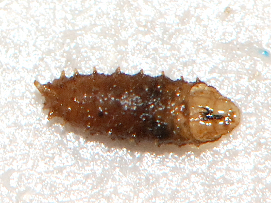 Unknown larva 1 - Red-Wiggler worm colony