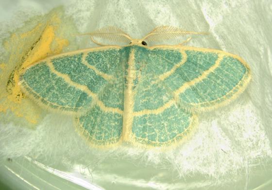 Geometridae (Blackberry Looper) on Prairie Clover, emerged - Chlorochlamys chloroleucaria - male