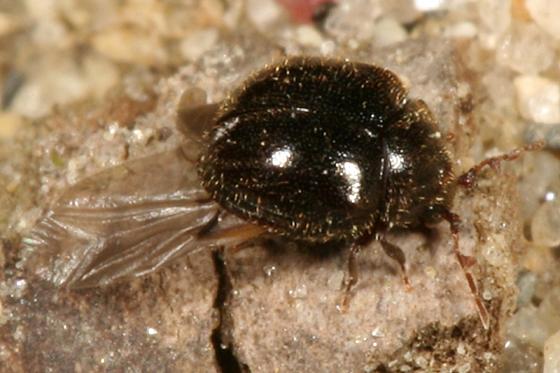 small beetle with unusual antennae - Caenocara