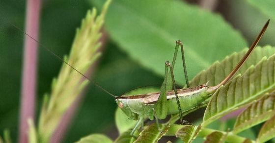 Prairie meadow katydid - Conocephalus saltans - female