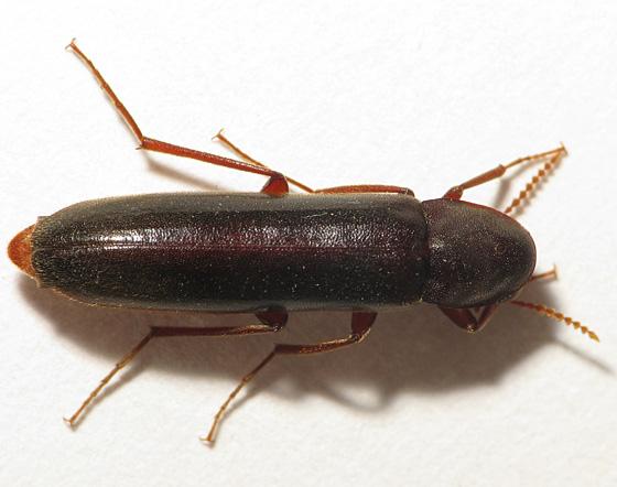 Long Small Beetle - Melittomma sericeum