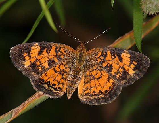 Pearl Crescent (dorsal) - Phyciodes tharos - female