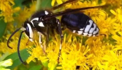 Unknown - Dolichovespula maculata