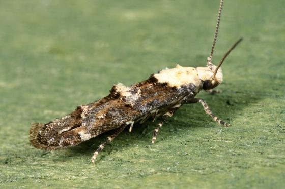 Moth - Mompha murtfeldtella