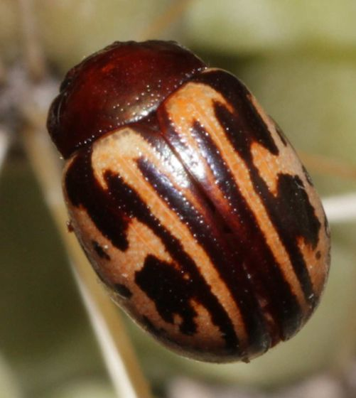 Calligrapha-like Beetle - Leptinotarsa collinsi