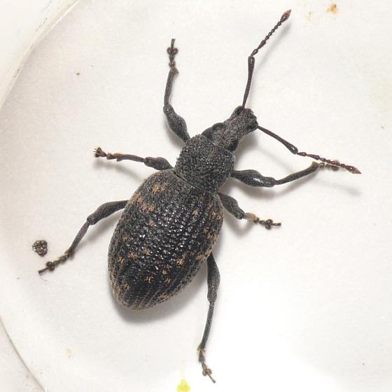 Weevil from WA 10.07.15 - Otiorhynchus sulcatus