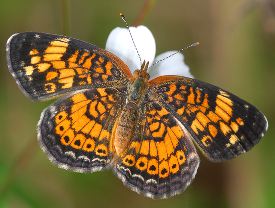 butterfly - Phyciodes tharos - female