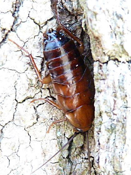 Bug going under tree bark - Parcoblatta pennsylvanica