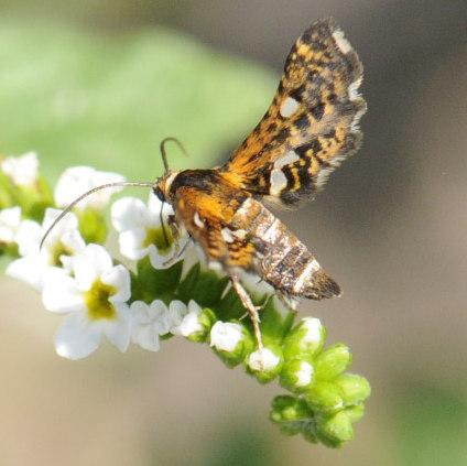 Thyris maculata Harris - Thyris maculata