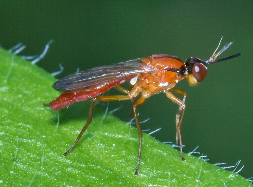 small orange insect - Loxocera