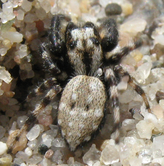 Salticid - Terralonus californicus - male