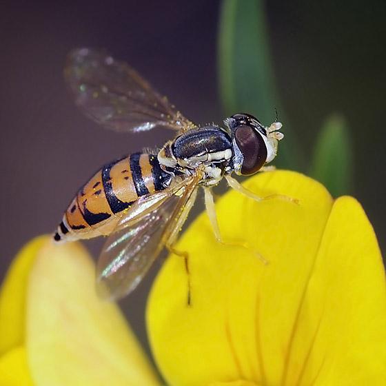 Syrphid Fly - Toxomerus marginatus - female