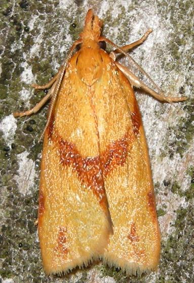 one-banded sparganothis - Sparganothis unifasciana