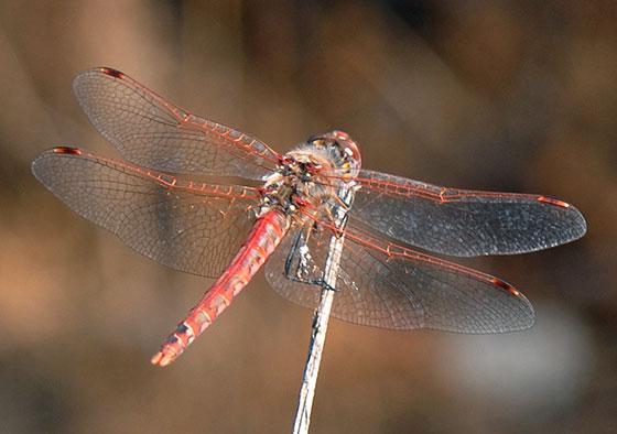 Variegated Meadowhawk? - Sympetrum corruptum - male