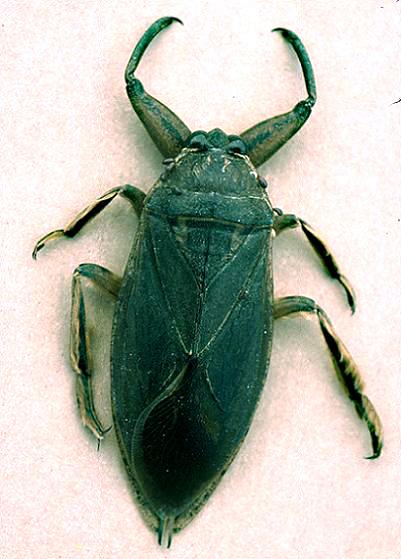 Giant Water Bug - Lethocerus americanus