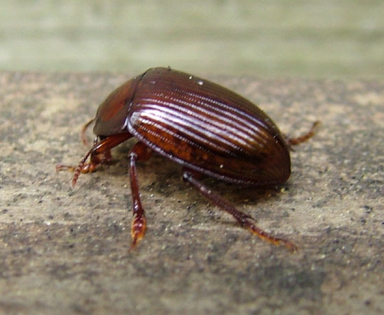 Scarab, I think! - Necrophilus hydrophiloides