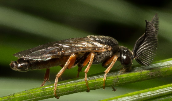 Neodiprion sertifer ? - Neodiprion - male