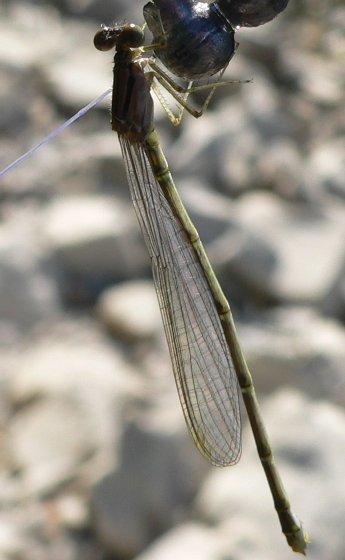 Familiar bluet - Enallagma civile - female