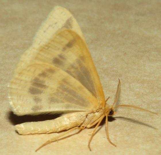 Currant Spanworm - Hodges#6274 - Macaria ribearia - male