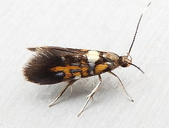 Pennsylvania Moth - Fabiola edithella