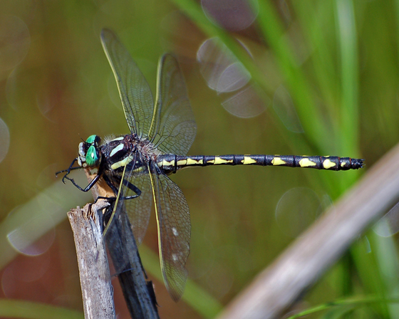 Delta-spotted Spiketail in New Brunswick - Cordulegaster diastatops - male