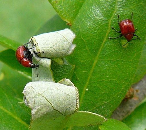 Leaf-rolling Weevil - Homoeolabus analis