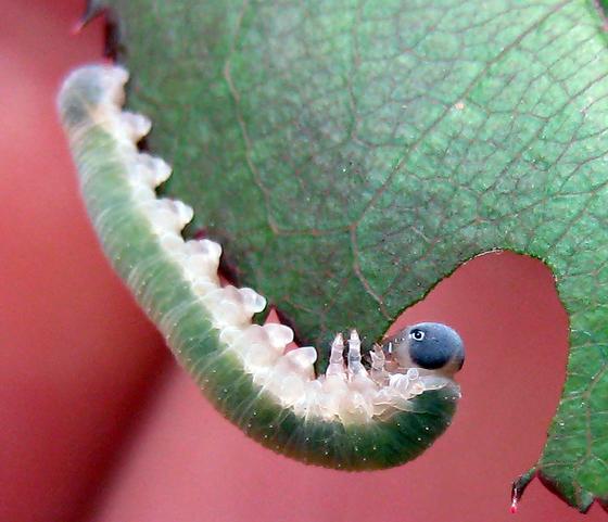 Allantus nigritibialis
