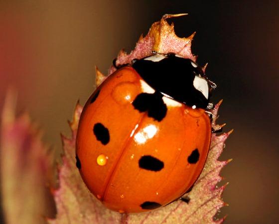 Seven-spotted Ladybug - Coccinella septempunctata
