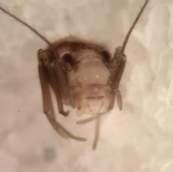 Bertkauia lepicidinaria - female