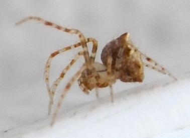 Finally Mimetidae! - Ero canionis - female