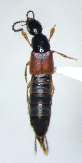 Philonthus rufulus - male