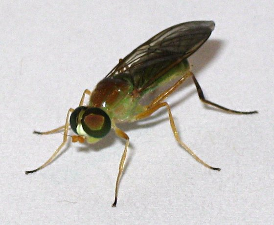 Unknown fly with vivid green abdomen - Ptecticus trivittatus