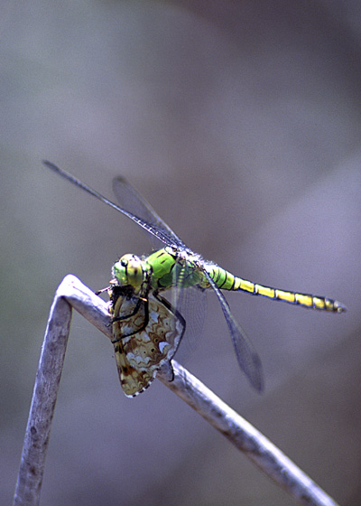 Western Pondhawk - Erythemis collocata - female
