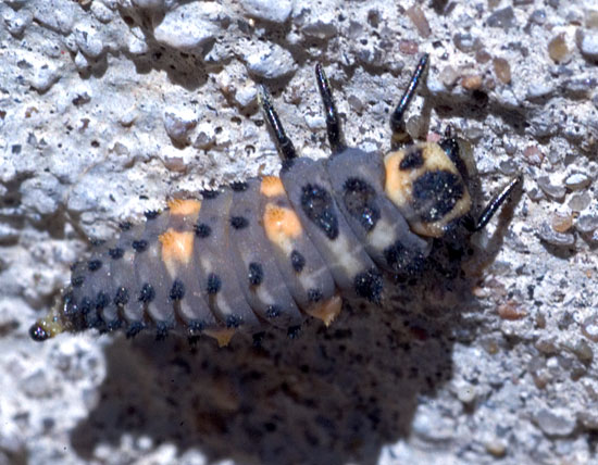 lady bug larva - Coccinella septempunctata