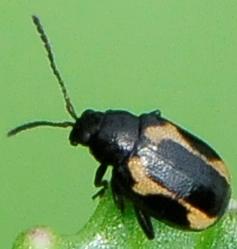 Phyllotreta striolata - Striped Flea Beetle - Phyllotreta striolata