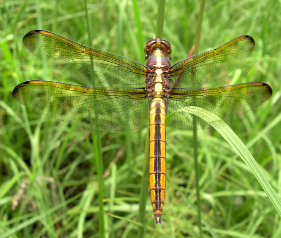 Young male Golden-Winged Dragonfly - Libellula flavida - male