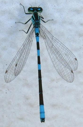 Blue Damsel - Coenagrion resolutum - male