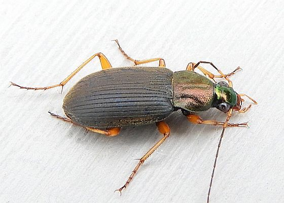 Pennsylvania Beetle for ID - Chlaenius tricolor