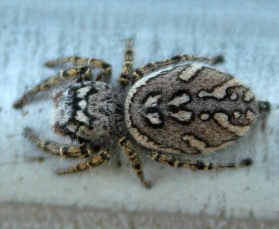 P. mystaceus - Phidippus mystaceus - female