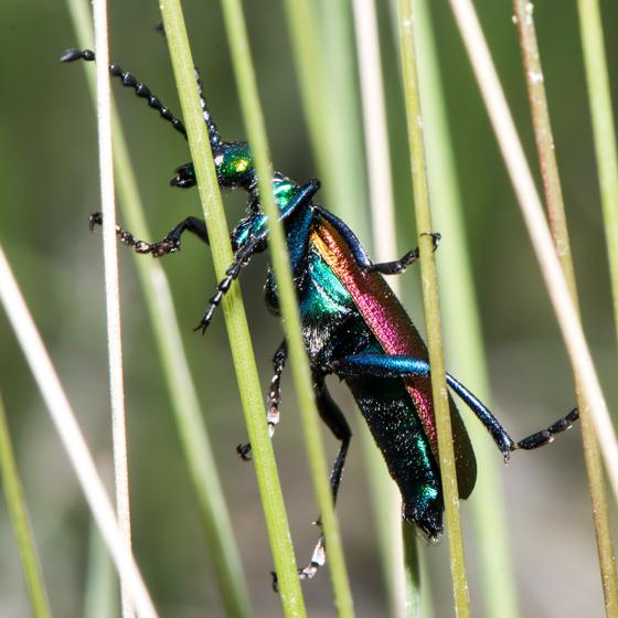 Unknown Beetle - Lytta nuttalli