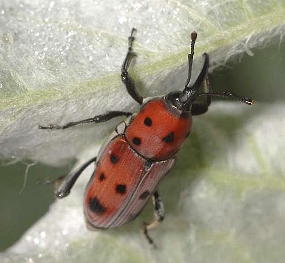Rhodobaenus tredecimpunctatus (Illiger) - Rhodobaenus tredecimpunctatus