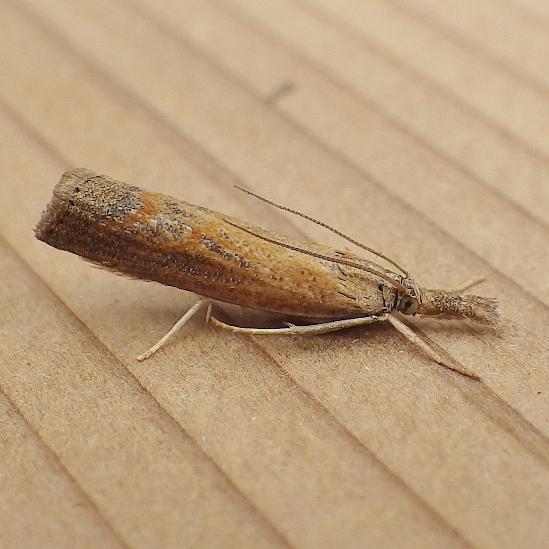 Crambidae: Neodactria luteolellus? - Neodactria