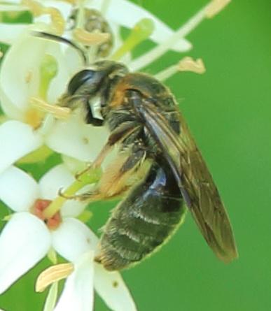 Lasioglossum or Halictus or something else? - Andrena alleghaniensis - female