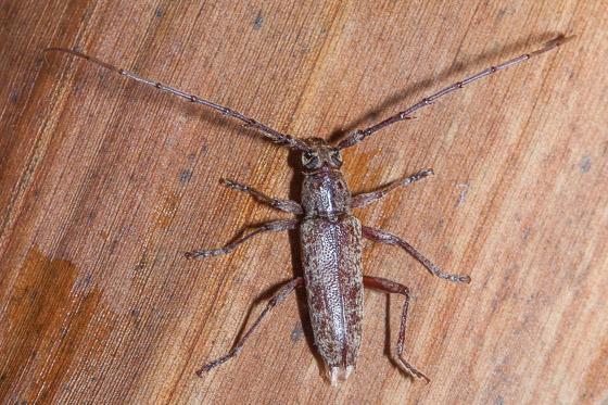 long horned beetle - Elaphidion mucronatum