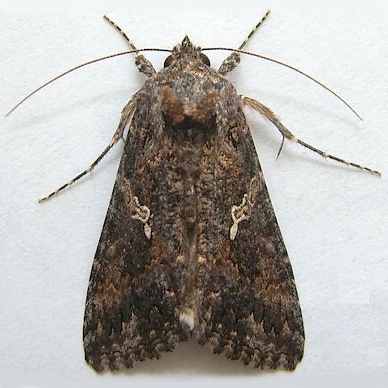 Ni Moth (Cabbage Looper Moth) - Trichoplusia ni